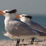 800px-Royal_Tern