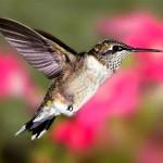 ruby_throated_hummingbird_3