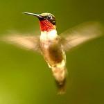 ruby_throated_hummingbird_9